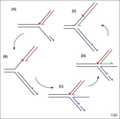 DNA replication: damage tolerance at the assembly line