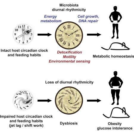 Image result for circadian gut
