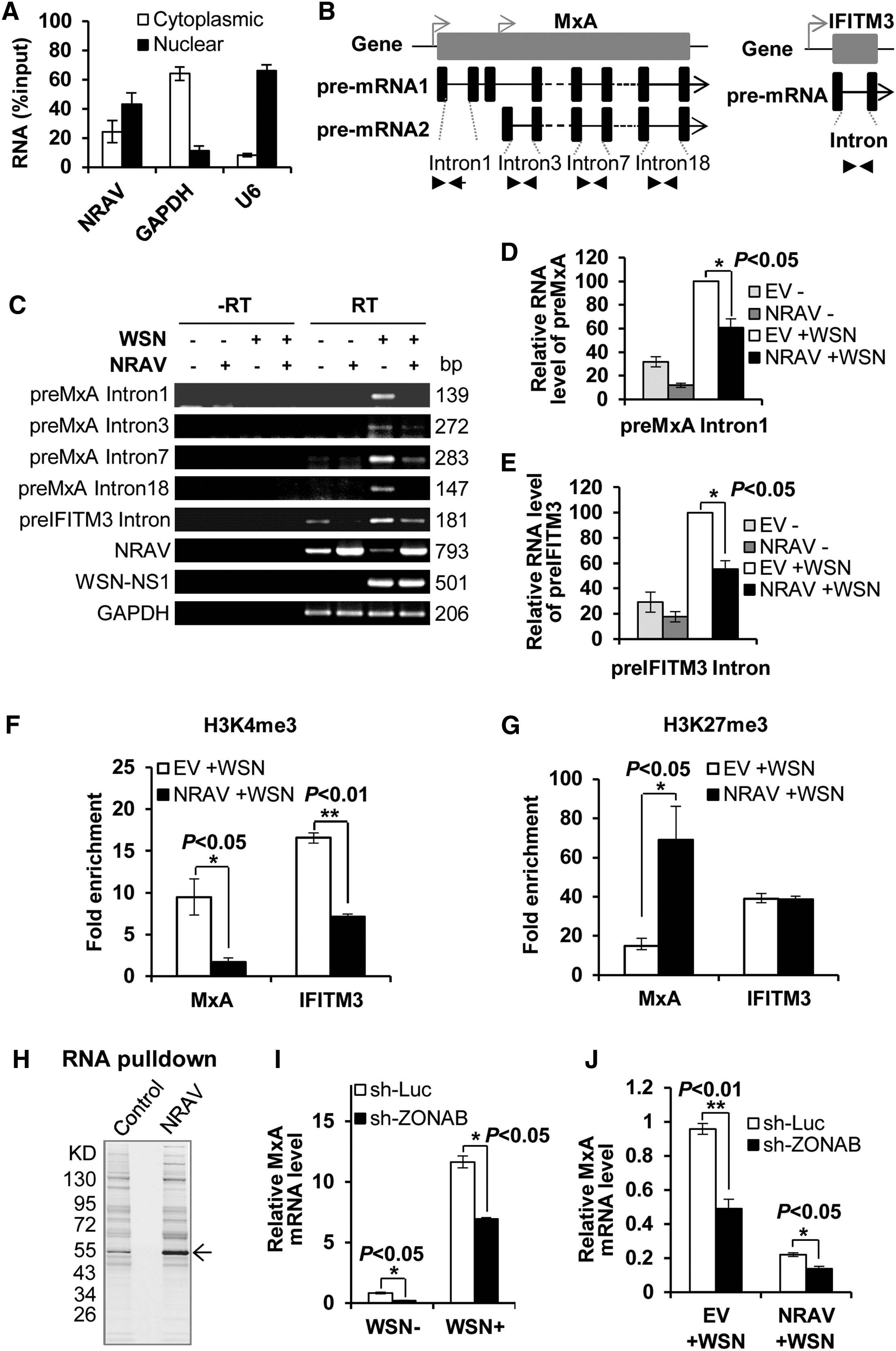 NRAV, a Long Noncoding RNA, Modulates Antiviral Responses