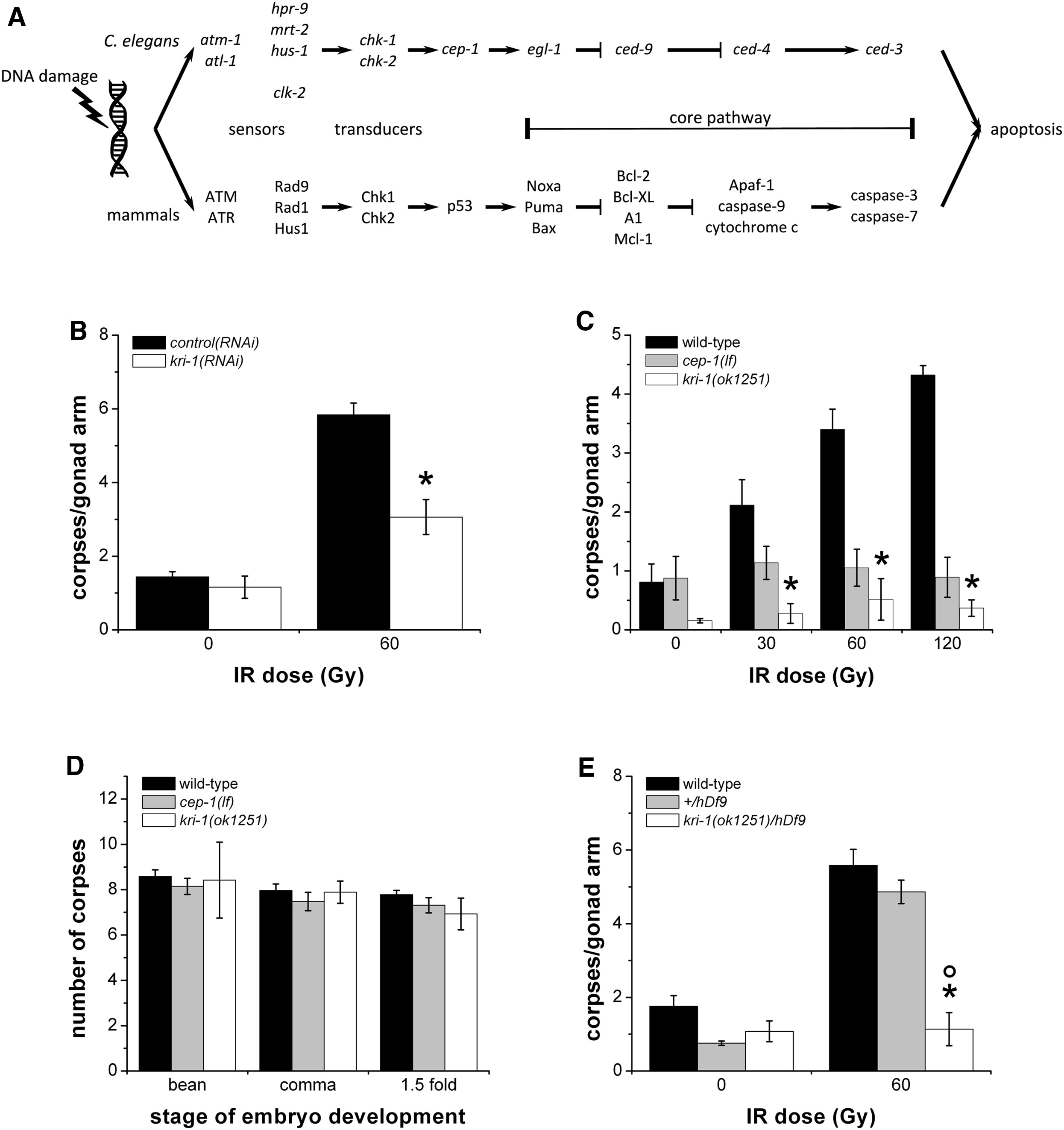 Cell-Nonautonomous Regulation of C. elegans Germ Cell