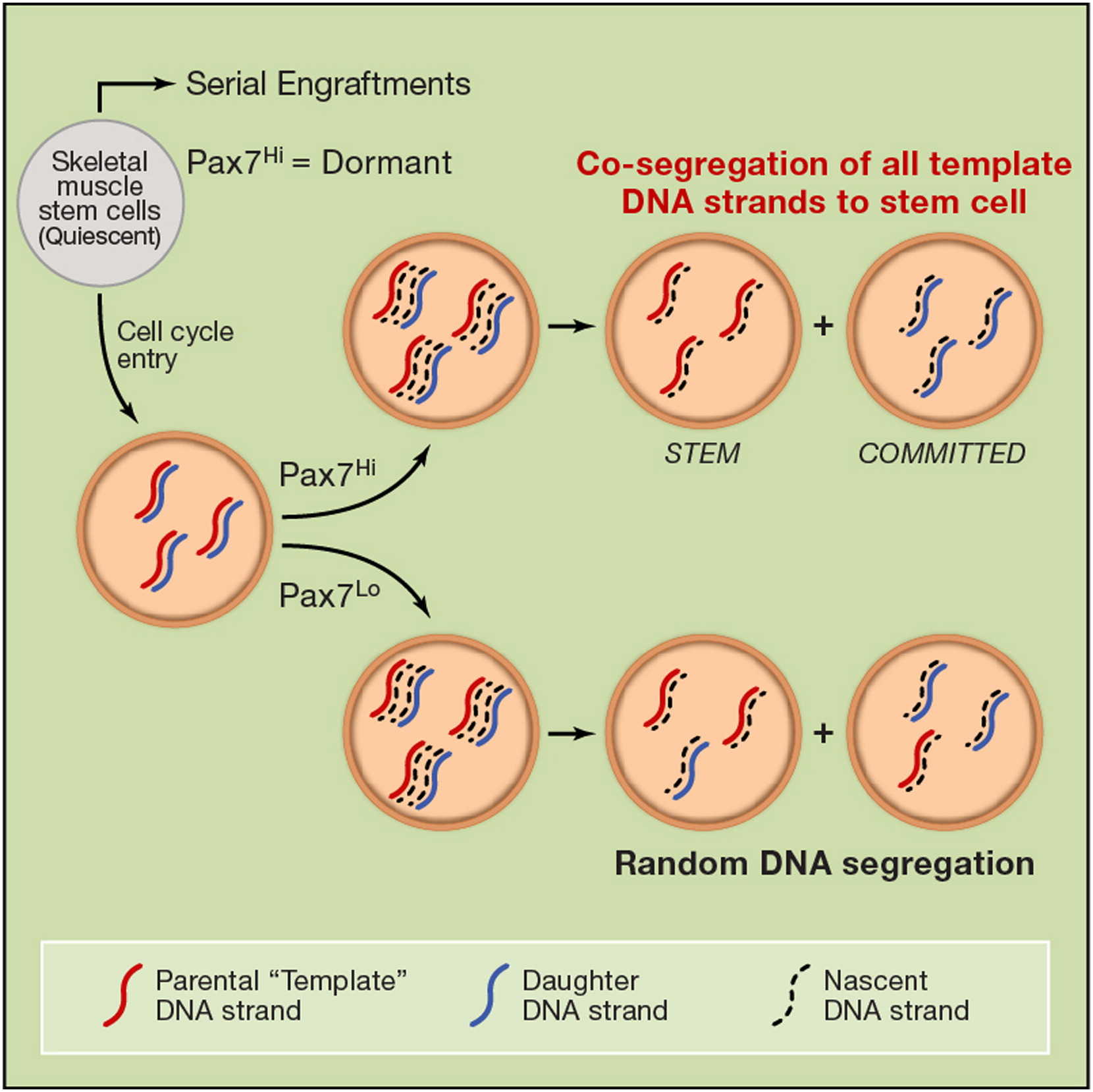 A Subpopulation Of Adult Skeletal Muscle Stem Cells Retains All Template Dna Strands After Cell