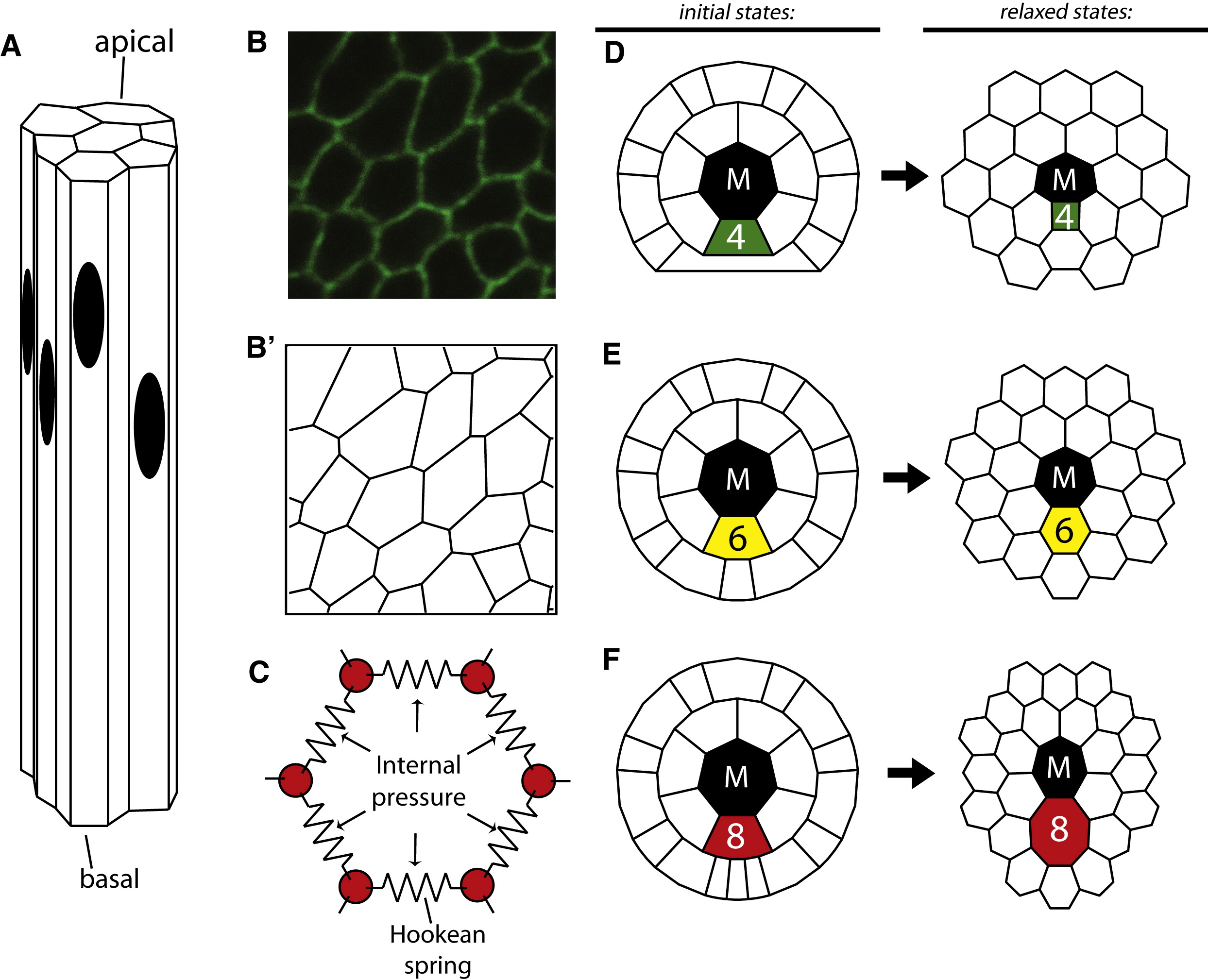 Control Of The Mitotic Cleavage Plane By Local Epithelial Topology Cell