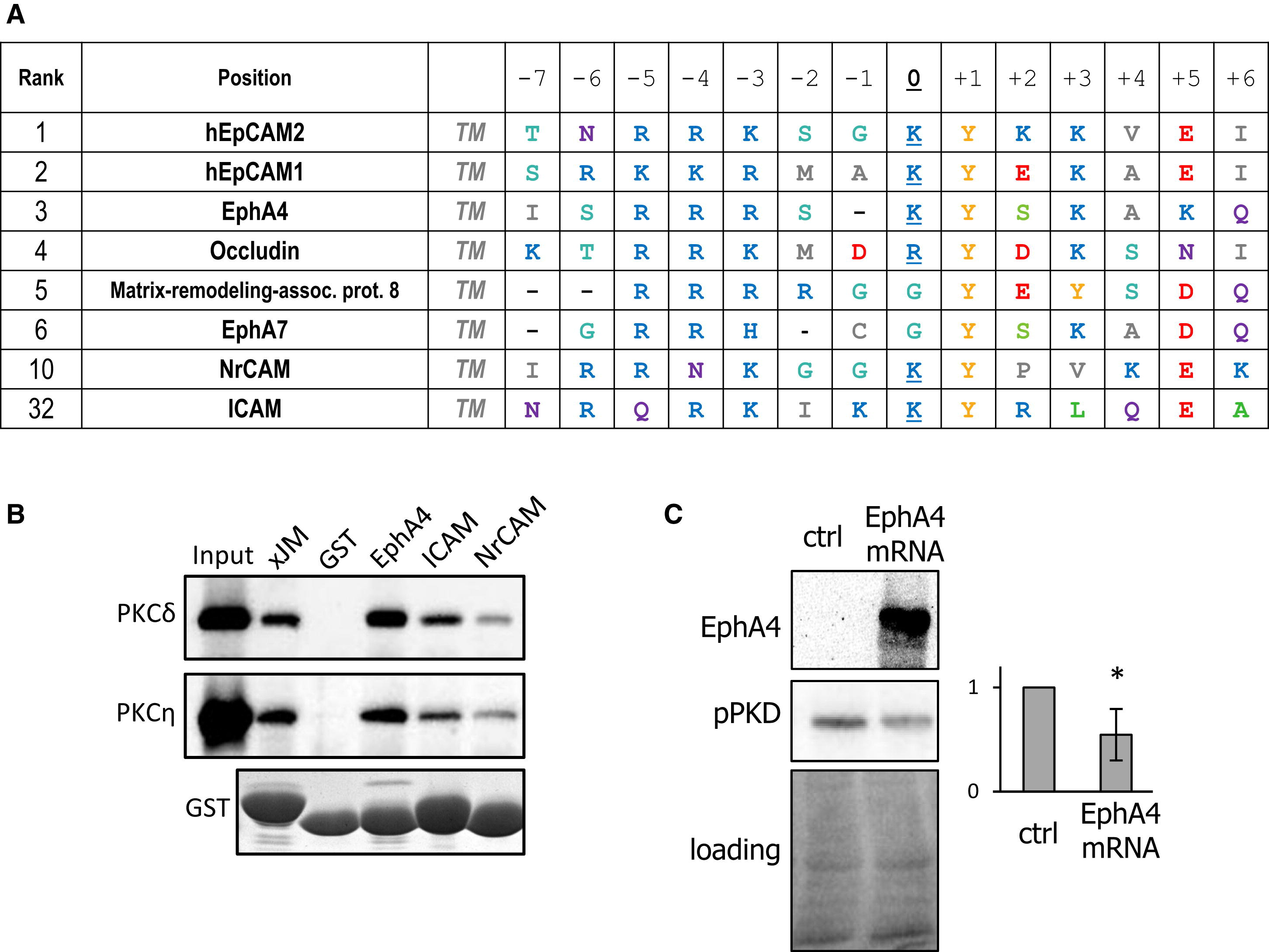 EpCAM Controls Actomyosin Contractility and Cell Adhesion