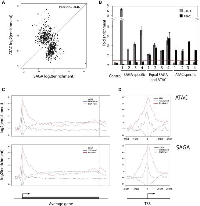 SAGA and ATAC Histone Acetyl Transferase Complexes