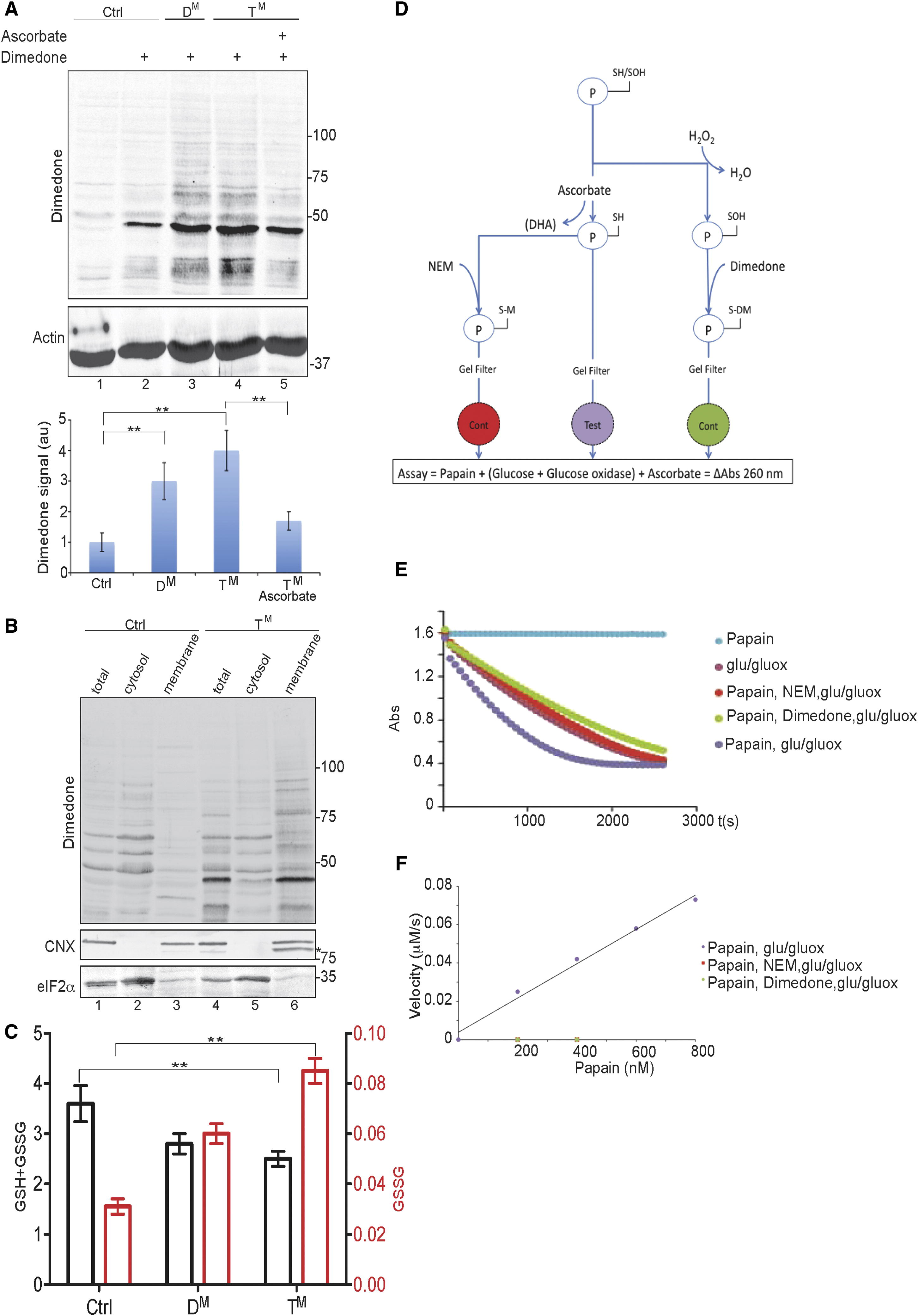 Endoplasmic Reticulum Thiol Oxidase Deficiency Leads To