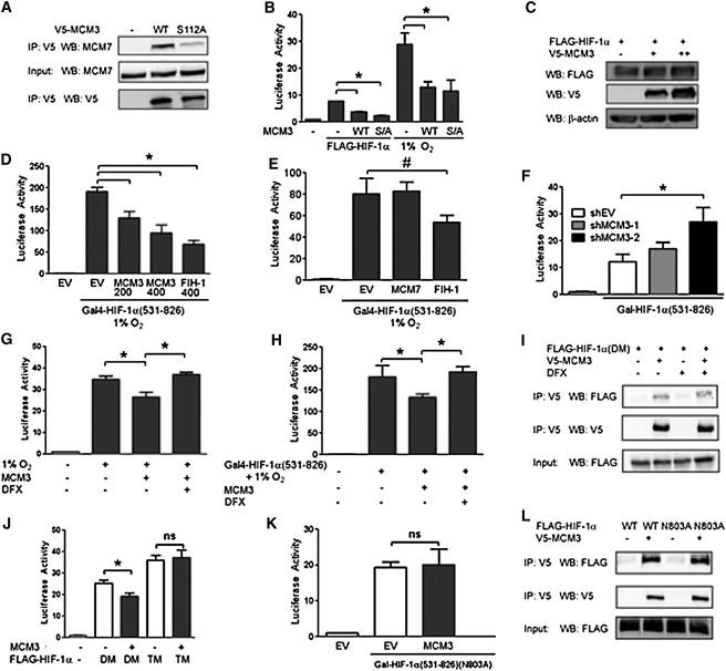 MCM Proteins Are Negative Regulators of Hypoxia-Inducible