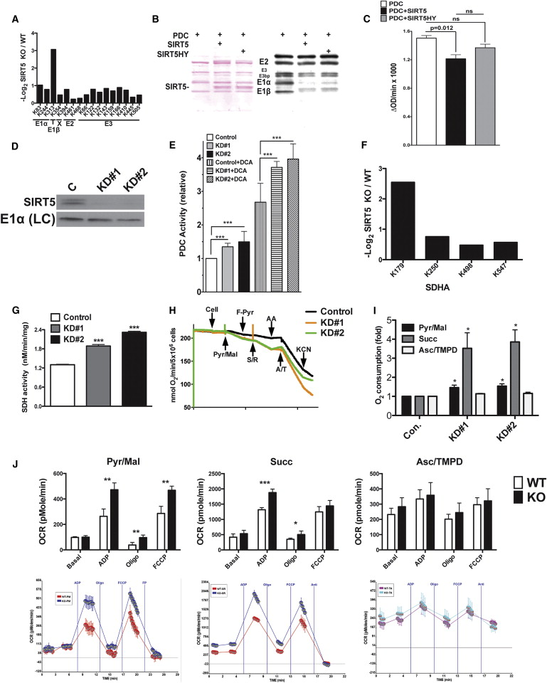 SIRT5-Mediated Lysine Desuccinylation Impacts Diverse
