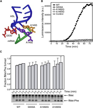 Precise Alignment of Peptidyl tRNA by the Decoding Center Is Essential for EFGDependent