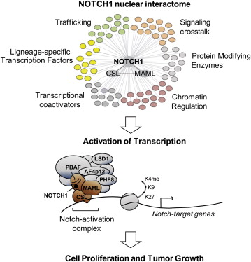 NOTCH1 Nuclear Interactome Reveals Key Regulators of Its