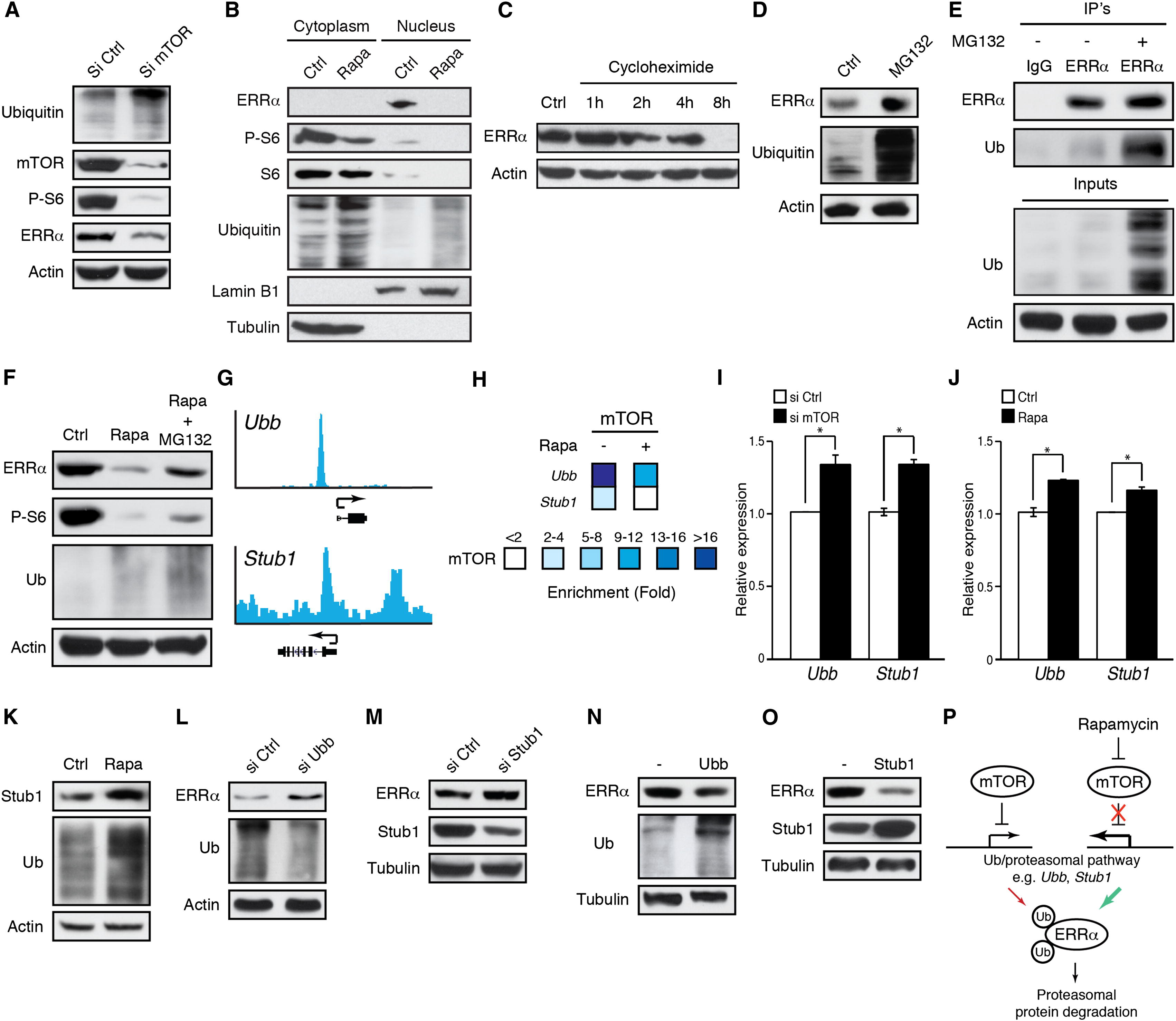 Molecular and Genetic Crosstalks between mTOR and ERRα Are
