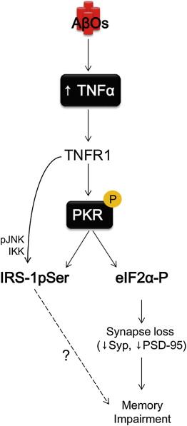 TNF-α Mediates PKR-Dependent Memory Impairment and Brain