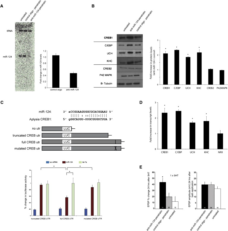 Characterization of Small RNAs in Aplysia Reveals a Role