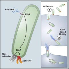 Bacteria Structure Diagram Fire Alarm Interface Unit Wiring Bf362 Barrier For Use With Intrinsically Icsa Is A Shigella Flexneri Adhesin Regulated By The Type Iii Secretion System And Required ...