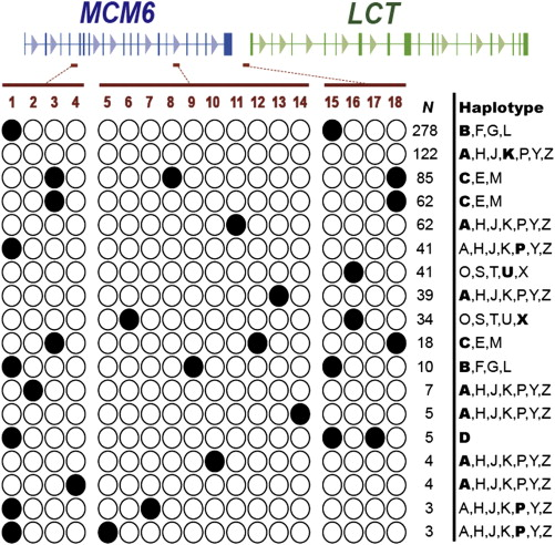 Diversity of Lactase Persistence Alleles in Ethiopia
