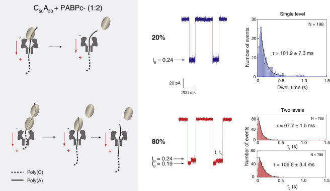 Nanopore Detachment Kinetics of Poly(A) Binding Proteins