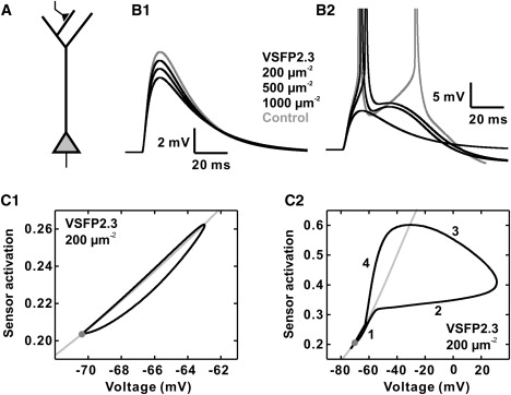Effect of Voltage Sensitive Fluorescent Proteins on