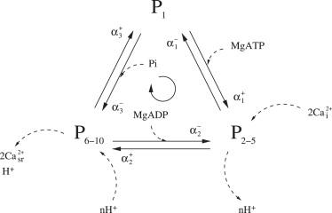 A Thermodynamic Model of the Cardiac Sarcoplasmic
