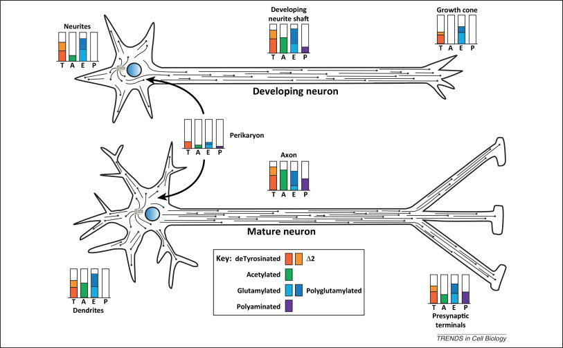 Post-translational modifications of tubulin: pathways to