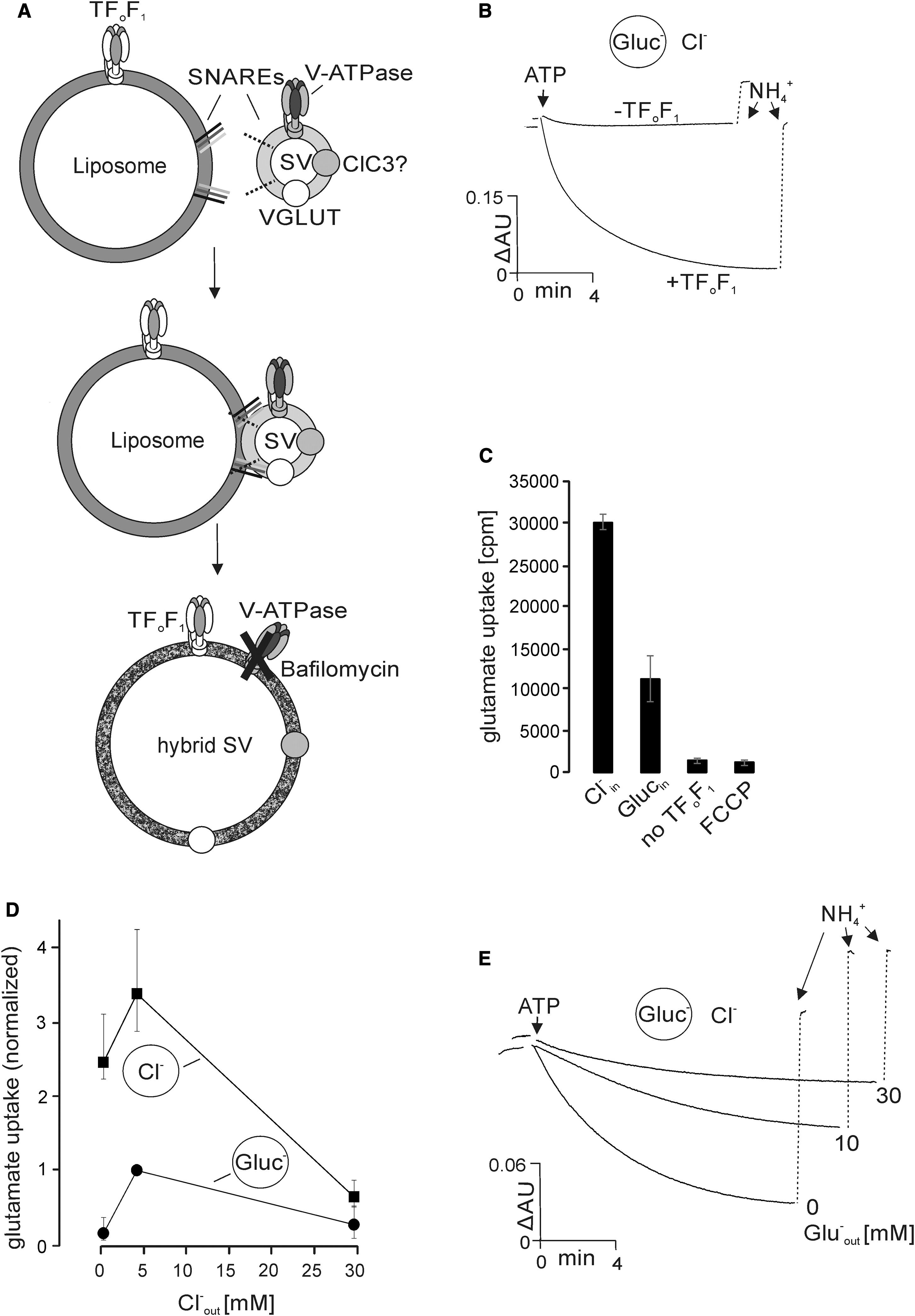 Vesicular Glutamate Transporters Use Flexible Anion And Cation Binding Sites For Efficient