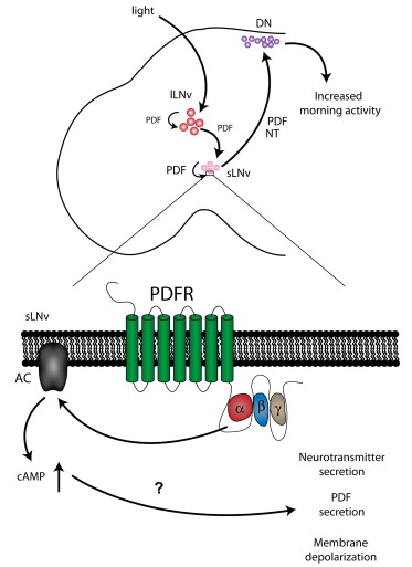 Autoreceptor Control of Peptide/Neurotransmitter Corelease