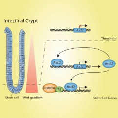 Overlapping Venn Diagram Sets 3 Switch Wiring Multiple Lights Ascl2 Acts As An R-spondin/wnt-responsive To Control Stemness In Intestinal Crypts: Cell ...