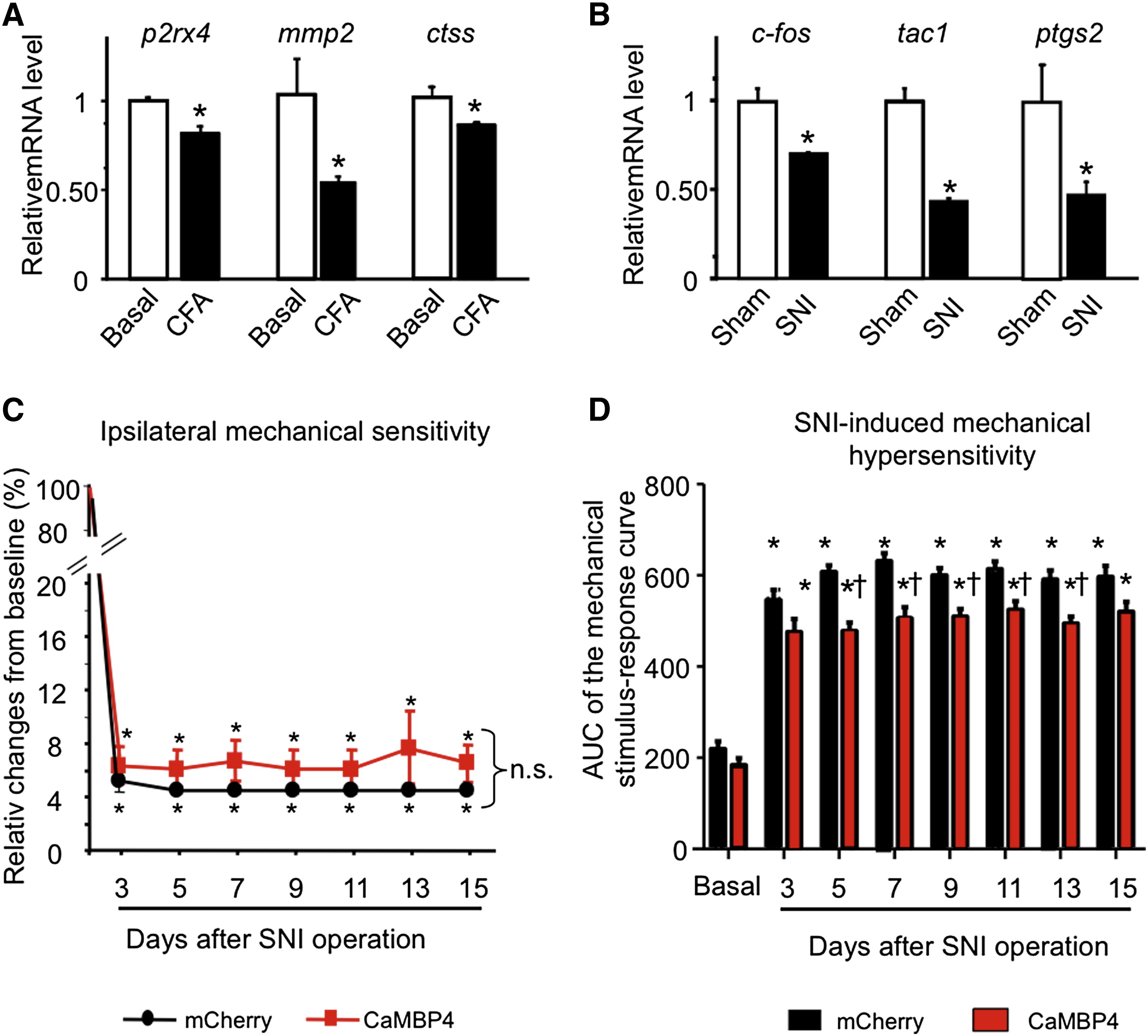 Nuclear Calcium Signaling In Spinal Neurons Drives A