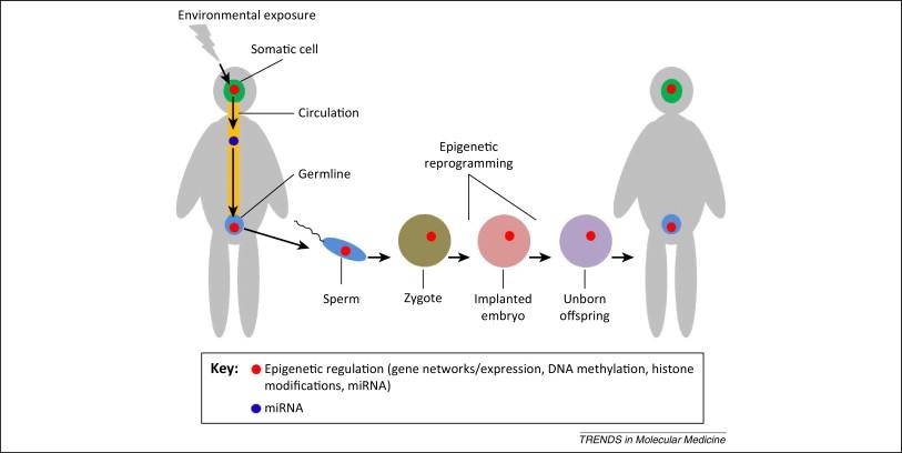 Transgenerational epigenetic inheritance requires a much