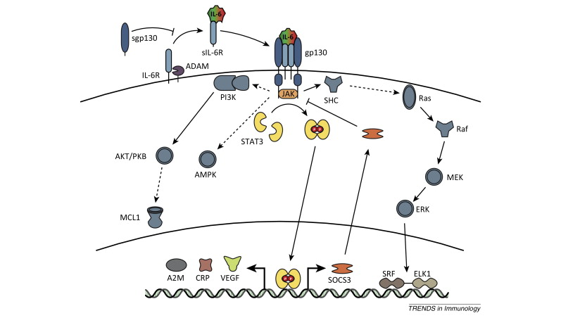 Versatile functions for IL-6 in metabolism and cancer