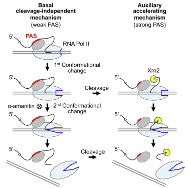 Poly(A) Signal-Dependent Transcription Termination Occurs