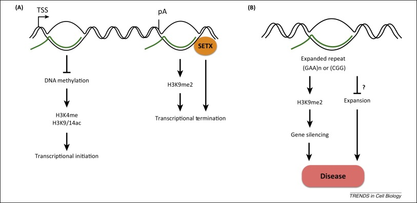 Breaking bad: R-loops and genome integrity: Trends in Cell