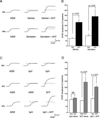 Activation of a Tyrosine Kinase-MAPK Cascade Enhances the