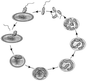 Investigations into the Life Cycle of the Bacterial