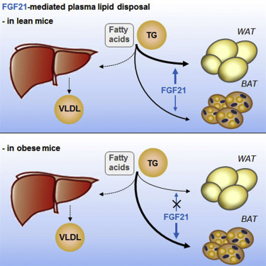 FGF21 Lowers Plasma Triglycerides by Accelerating