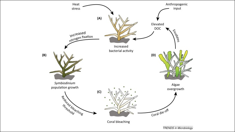 Nitrogen cycling in corals: the key to understanding