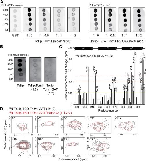 Tom1 Modulates Binding of Tollip to Phosphatidylinositol 3