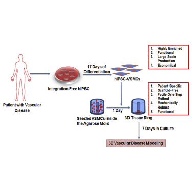 human muscle cell diagram radio wiring 2006 ford ranger tissue engineered vascular rings from ipsc derived smooth cells stem reports