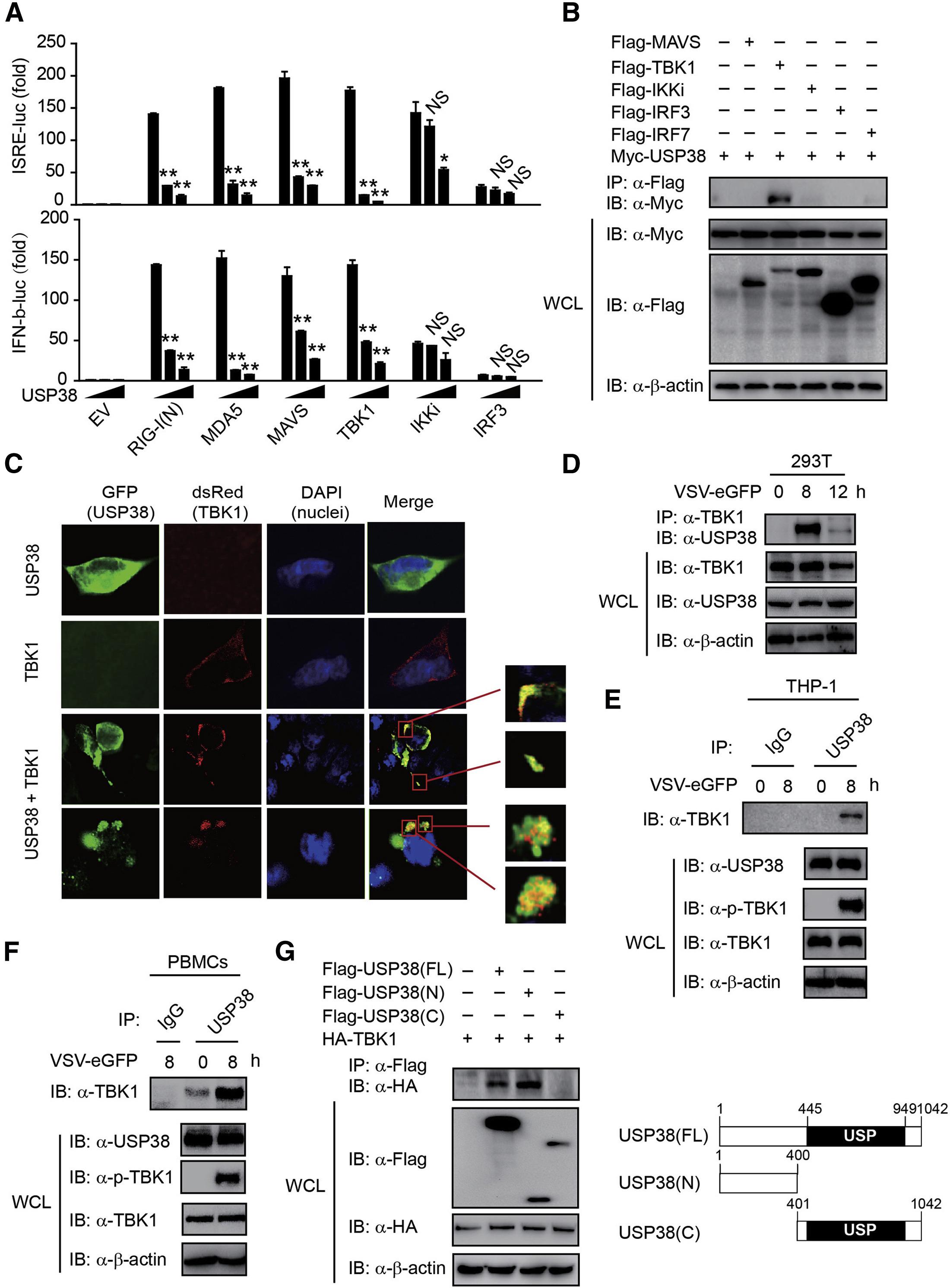 Usp38 Inhibits Type I Interferon Signaling By Editing Tbk1 Ubiquitination Through Nlrp4