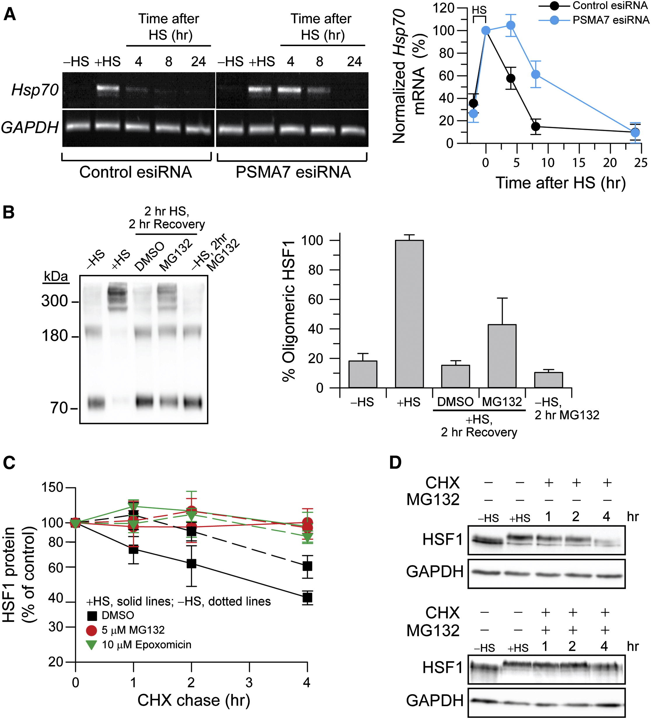 Interplay Of Acetyltransferase Ep300 And The Proteasome System In Regulating Heat Shock