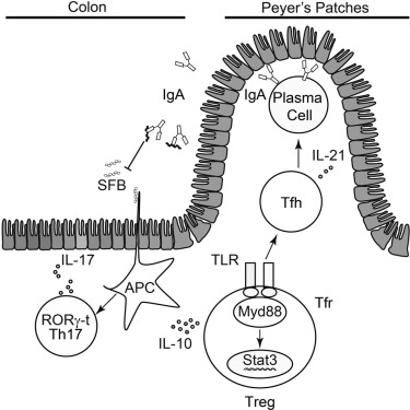 MyD88 Adaptor-Dependent Microbial Sensing by Regulatory T