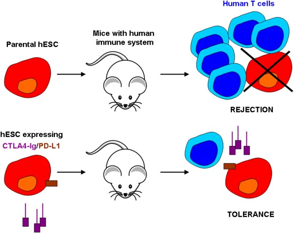 Escaping Rejection Step Embryonic-stem-cell