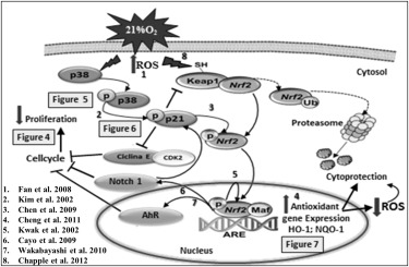Activation of p38, p21, and NRF-2 Mediates Decreased