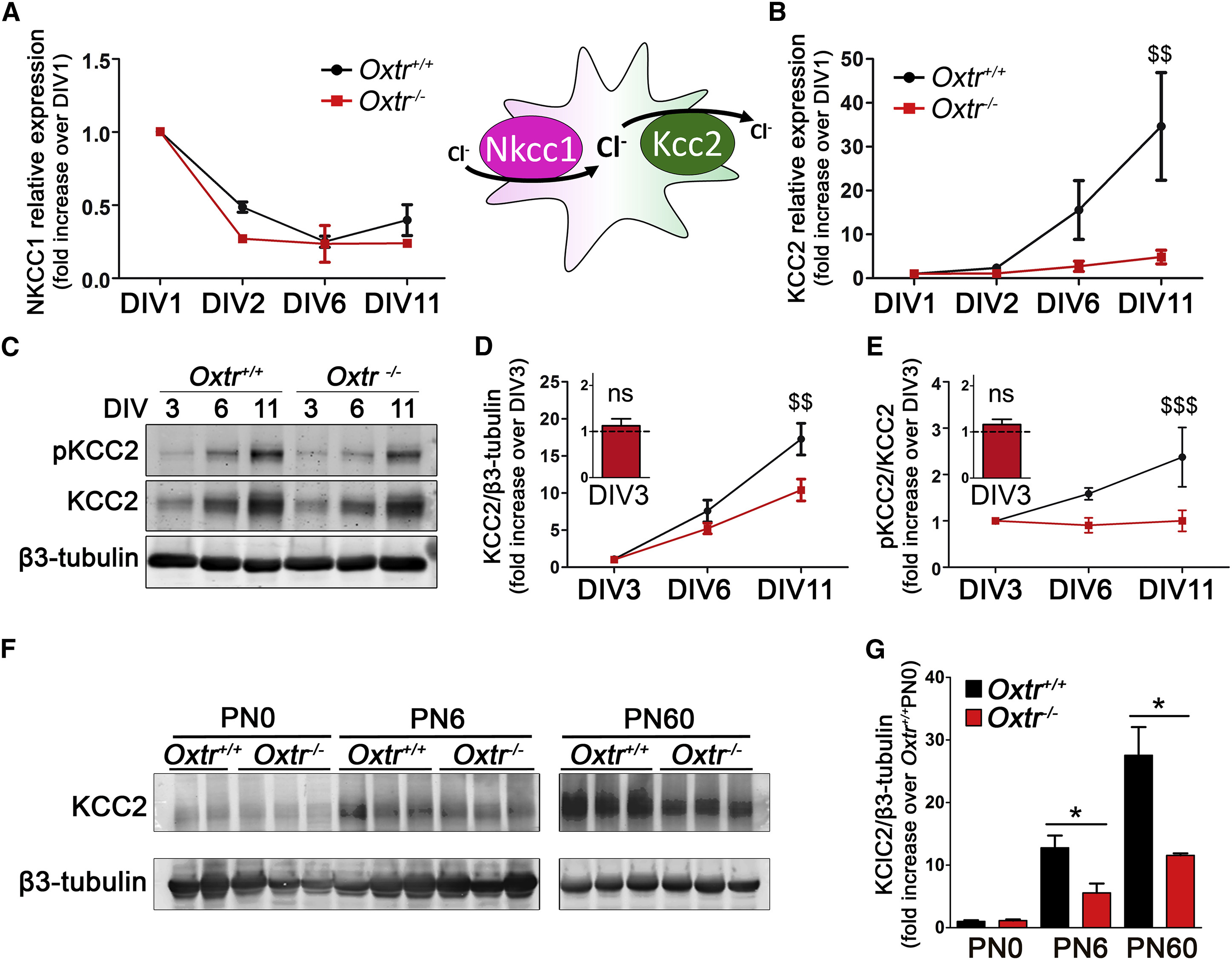 The Timing Of The Excitatory To Inhibitory Gaba Switch Is
