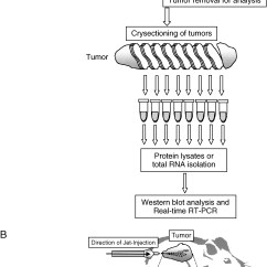 In Vivo Gene Therapy Diagram Human Brain Cell Nonviral Jet Injection Transfer For Efficient