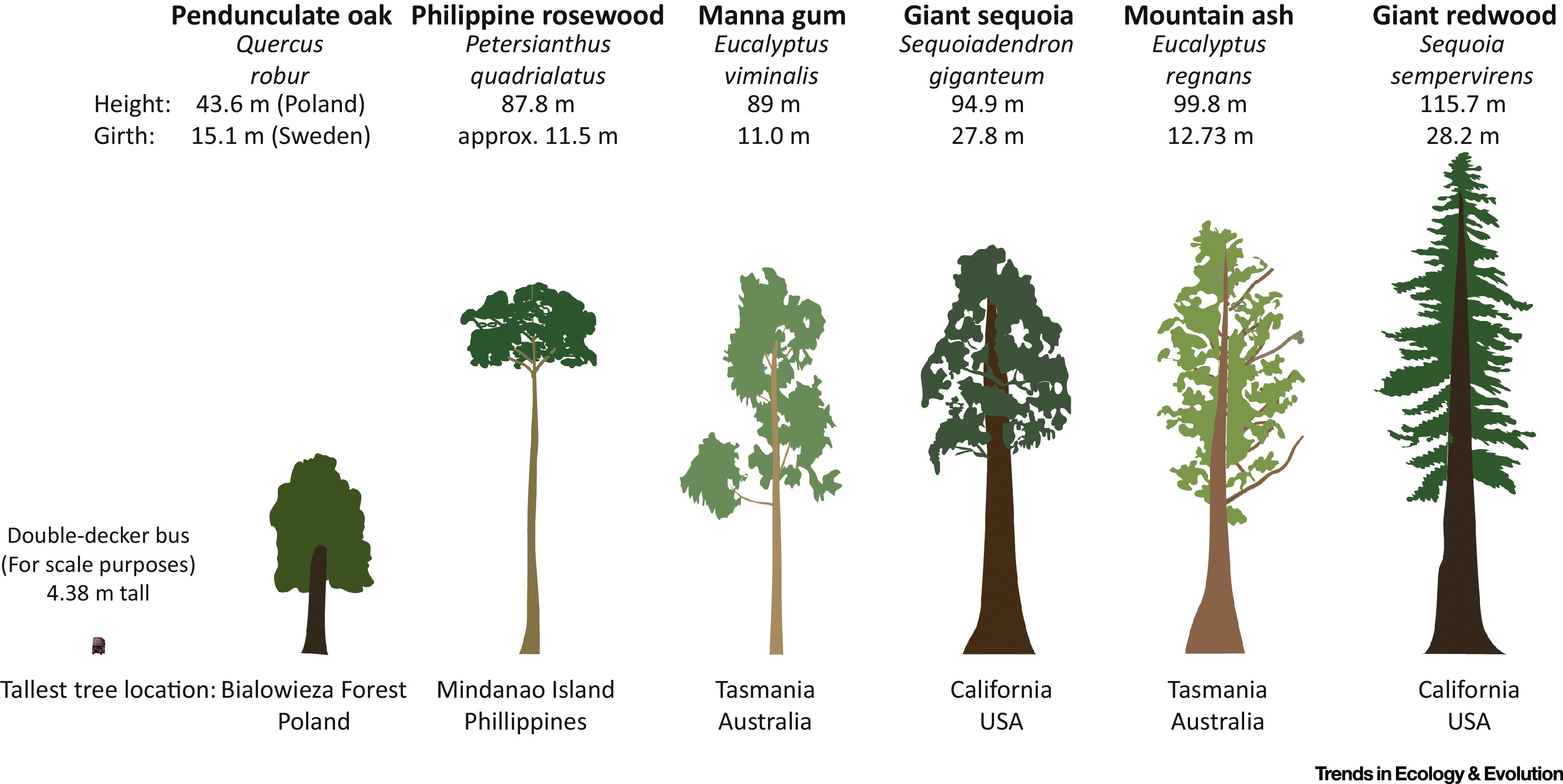The Unique Challenges Of Conserving Large Old Trees