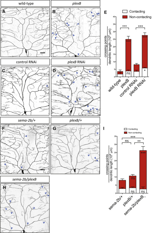 Epidermis-Derived Semaphorin Promotes Dendrite Self
