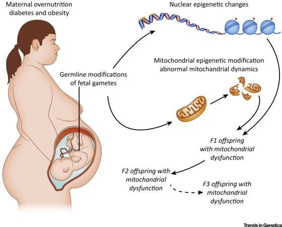 Developmental And Transmittable Origins Of Obesity