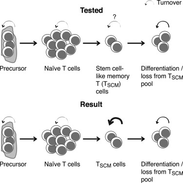 Human Stem Cell-like Memory T Cells Are Maintained in a