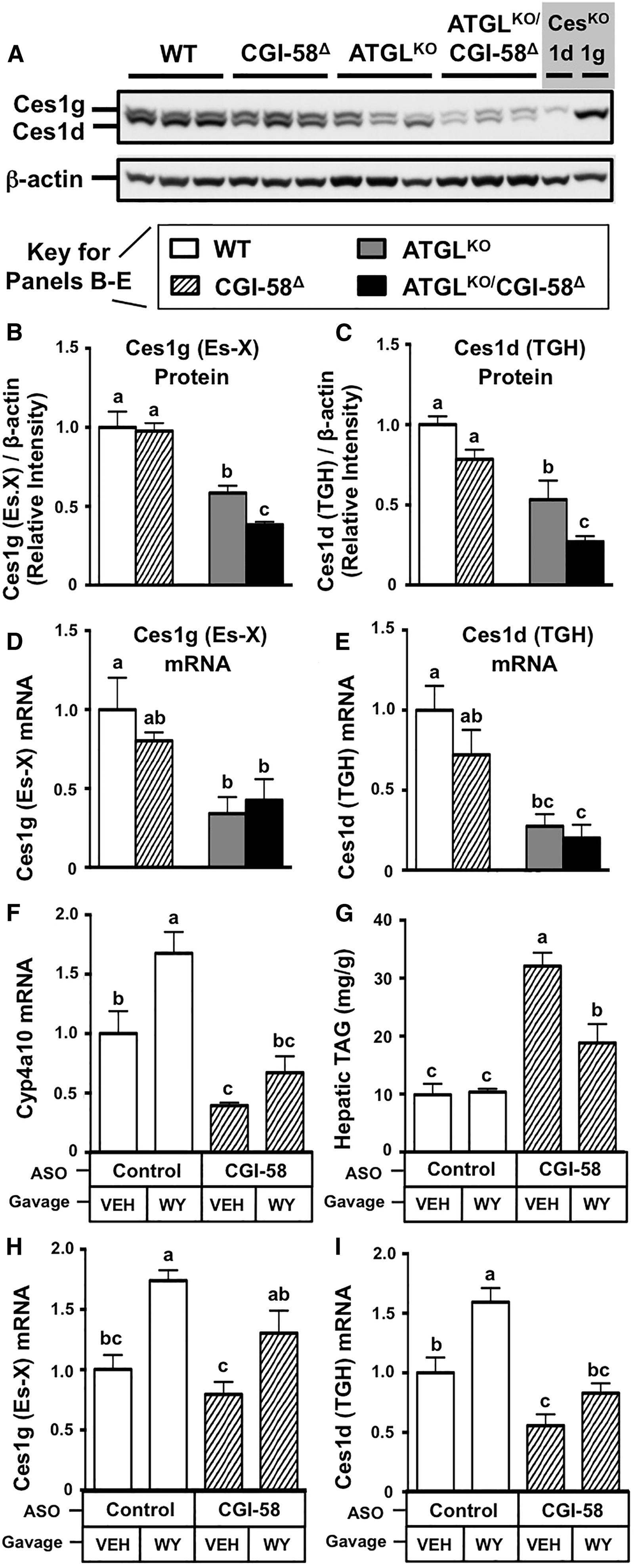 Regulation of Hepatic Triacylglycerol Metabolism by CGI-58