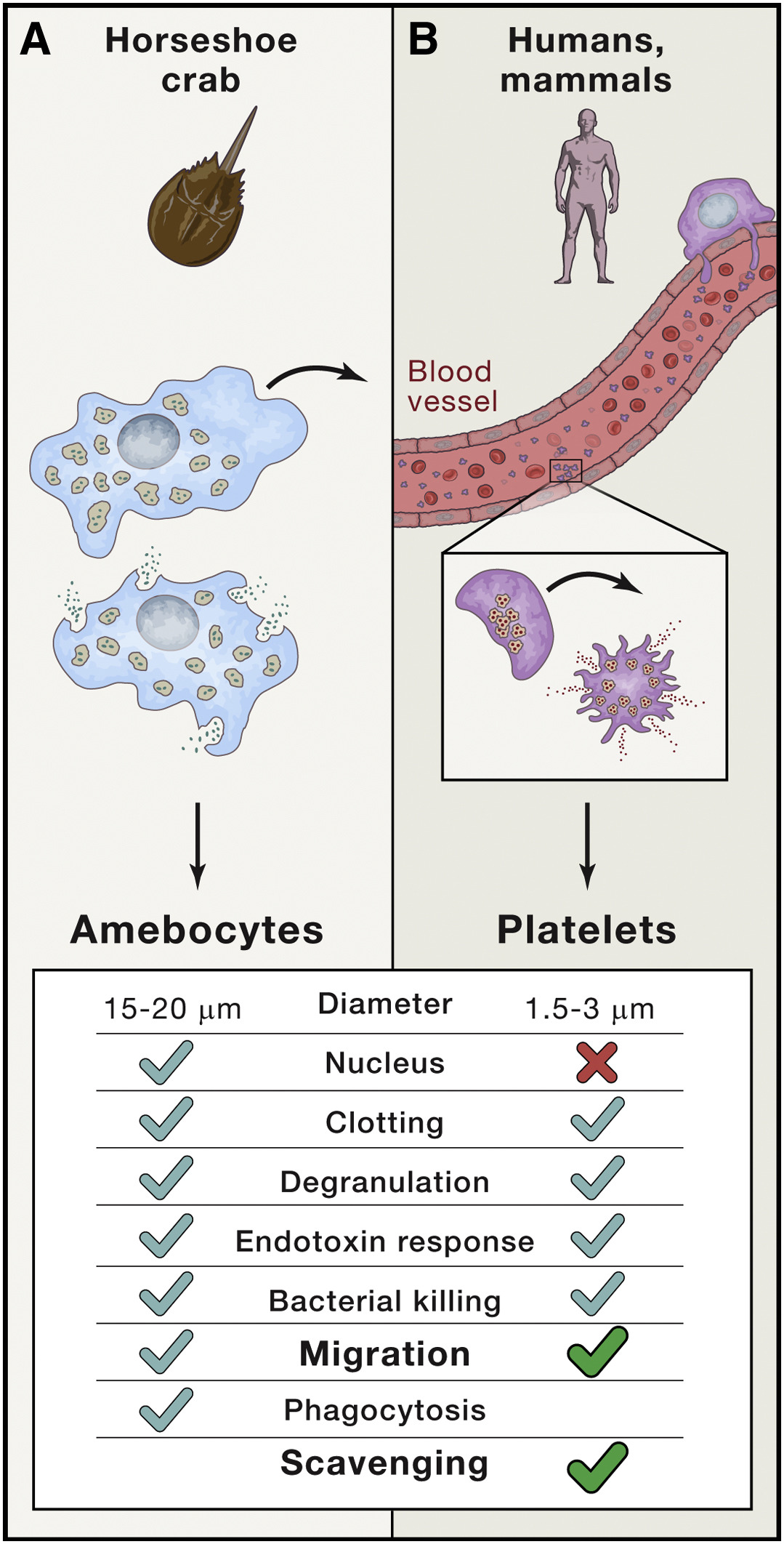 Platelets On Your Marks Get Set Migrate Cell