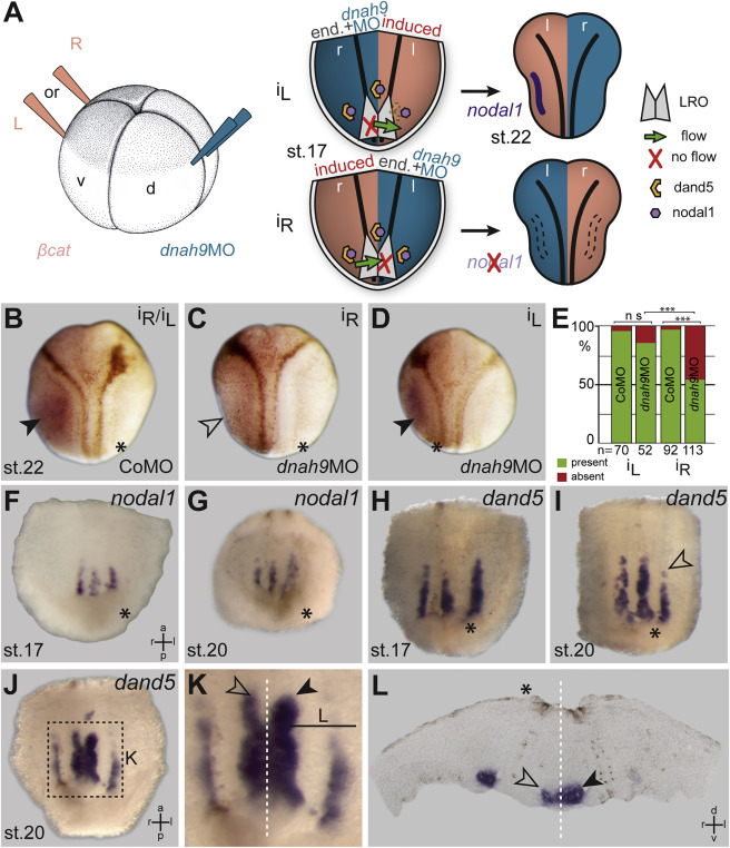 Leftward Flow Determines Laterality in Conjoined Twins ...